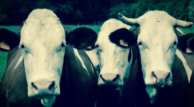 Des Vaches Carnassières !